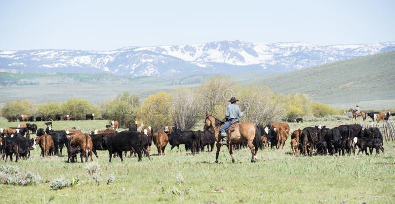 Vieh-Antrieb in Colorado lizenzfreies stockbild