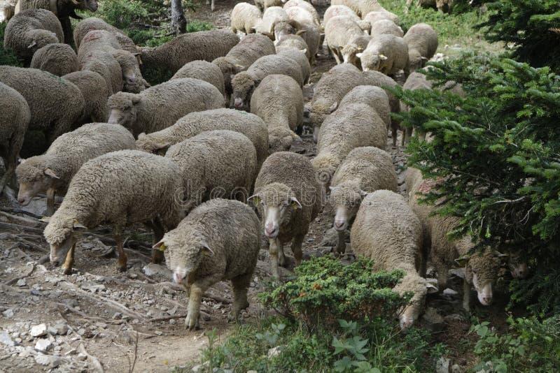 Vieh-Antrieb in den Bergen lizenzfreies stockfoto