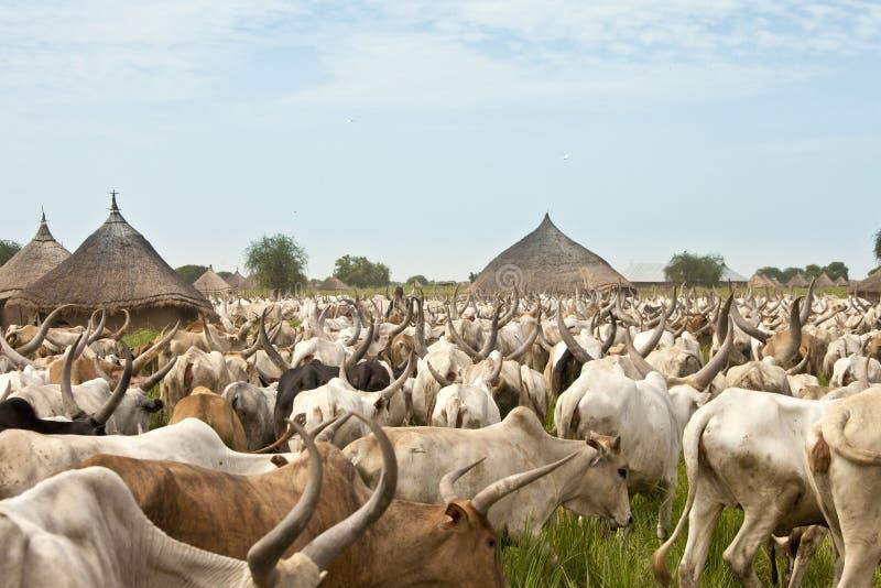 Vieh-Antrieb in Süd-Sudan lizenzfreies stockfoto