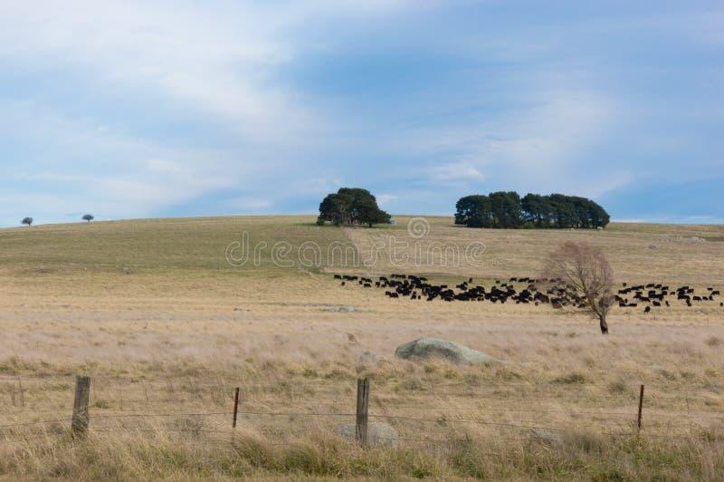 Vieh auf australischem Feld lizenzfreies stockfoto