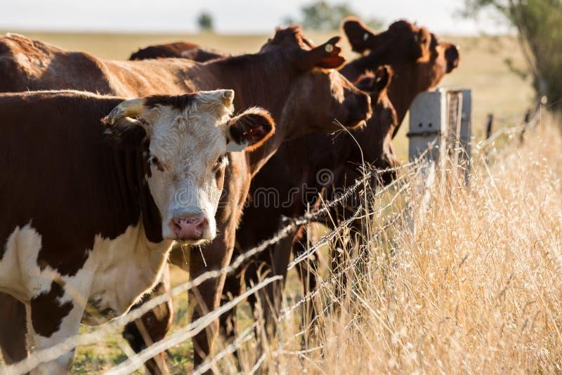 Vieh auf dem Gebiet stockfotos
