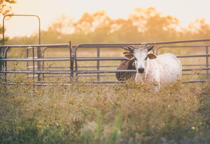 Vieh auf dem Gebiet während des Sonnenuntergangs stockbild