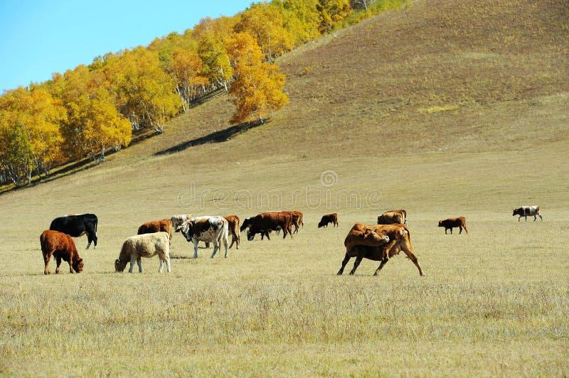 Vieh auf dem Grasland lizenzfreie stockbilder