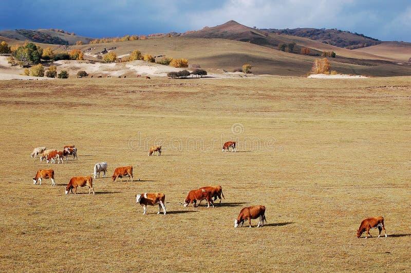 Vieh auf dem Grasland im Herbst lizenzfreies stockfoto