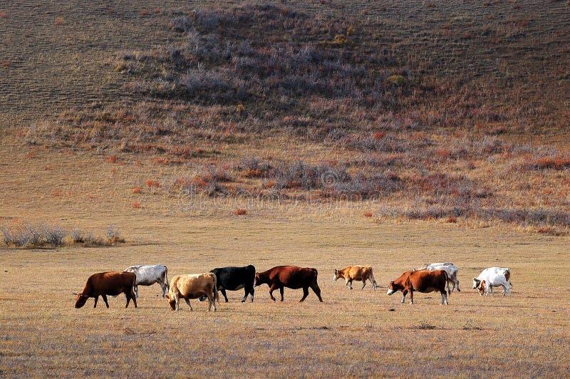 Vieh auf dem Grasland im Herbst lizenzfreies stockbild