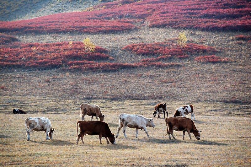 Vieh auf dem Grasland im Herbst stockfotos