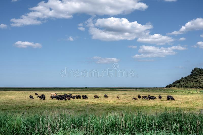 Vieh auf dem Saltmarsh stockfotografie