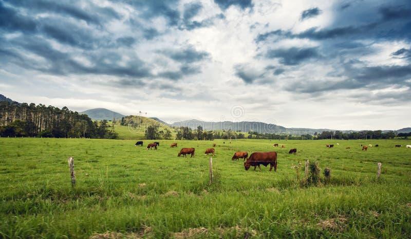 Vieh auf einem Gebiet lizenzfreies stockbild