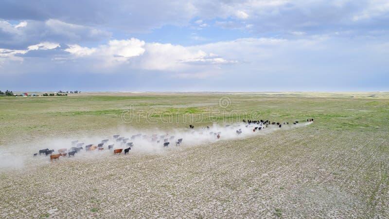 Vieh auf einem trockenen Grasland in West-Nebraska lizenzfreie stockfotos