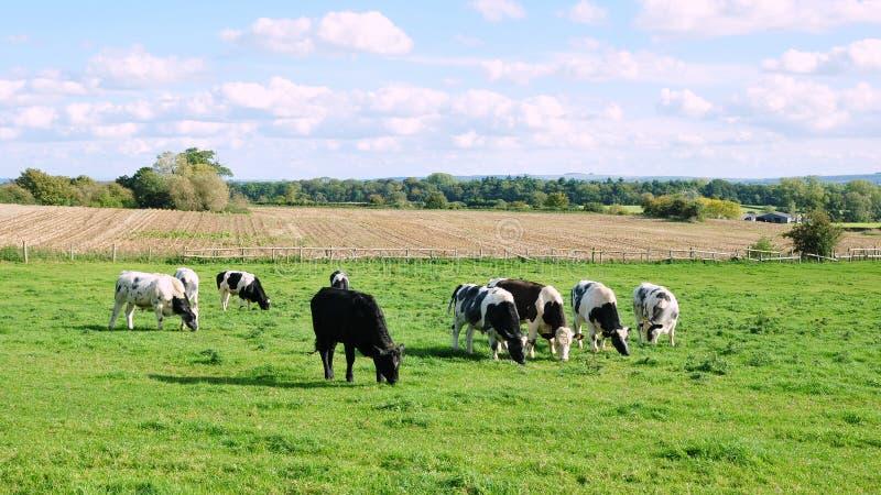 Vieh, das auf Ackerland weiden lässt lizenzfreie stockbilder