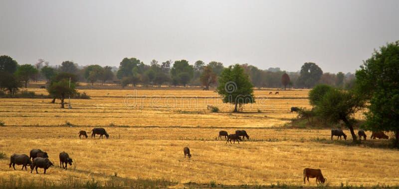 Vieh, das auf den Gebieten weiden lässt, nachdem Korn geerntet worden ist lizenzfreie stockbilder