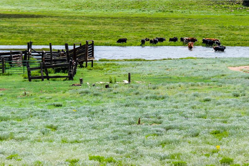 Vieh, das The Creek nahe der Präriehund-Stadt kreuzt lizenzfreies stockbild