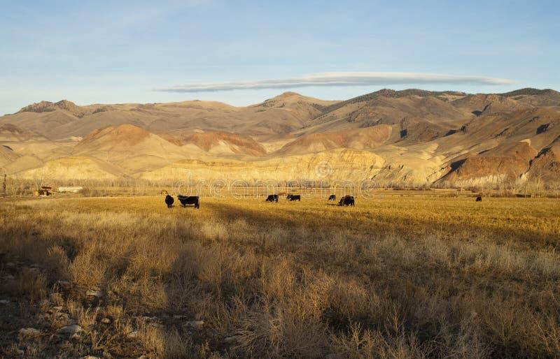 Vieh, das Ranch-Bauernhofs- mit Viehhaltungtier-Westberglan weiden lässt stockbilder