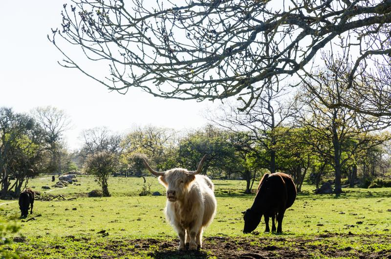 Vieh in einem gr?nen Weideland stockfotos