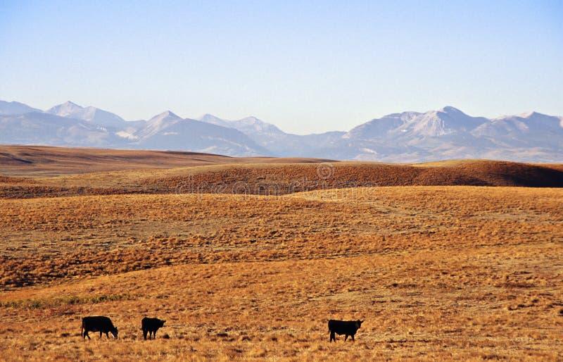 Vieh am Grasland stockbilder