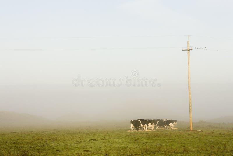 Vieh im frühen Morgen beleuchtet in der Weide lizenzfreies stockbild