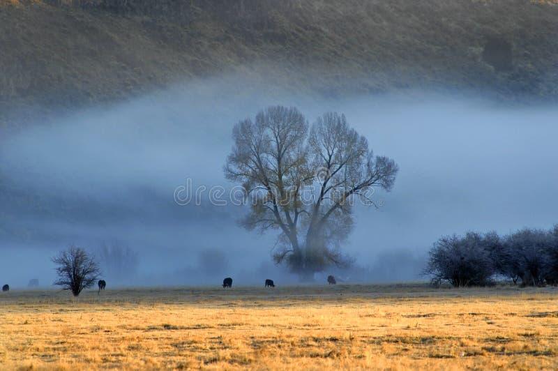 Vieh im Morgen-Nebel stockfotos