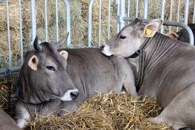 Vieh im Stall mit Futter lizenzfreies stockfoto