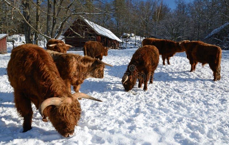 Vieh im Winter lizenzfreies stockfoto