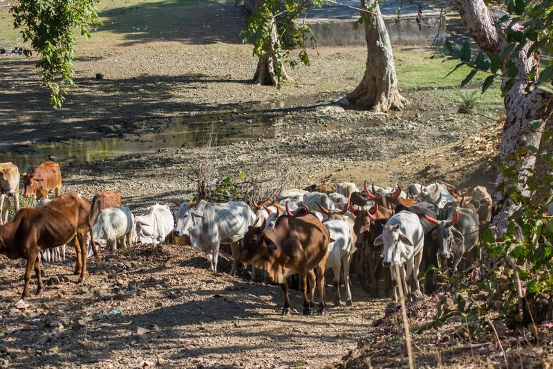 Vieh-Kühe im Wald lizenzfreie stockbilder