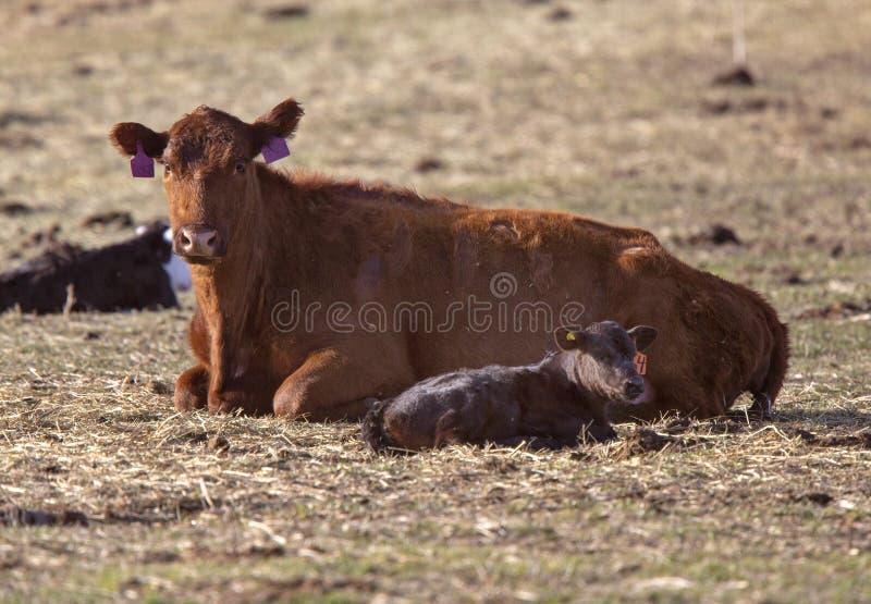 Vieh-kalbende Jahreszeit stockfoto