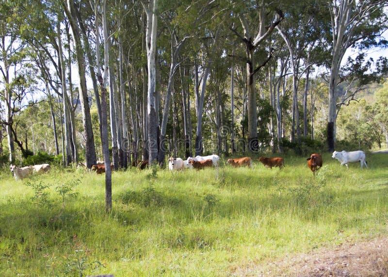 Vieh-Land stockfoto