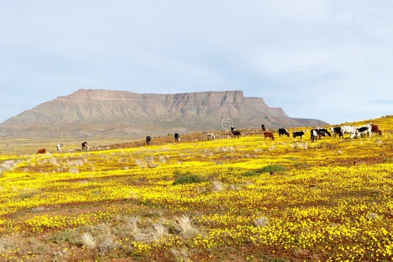 Vieh mit einem Berg, der wie Tafelberg im backgr aussieht stockfotografie