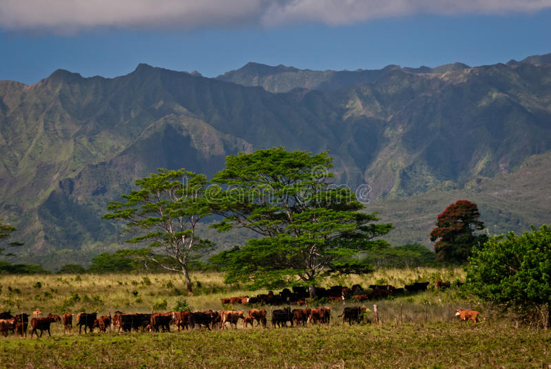 Vieh-Ranch auf Kauai, Hawaii lizenzfreie stockfotografie