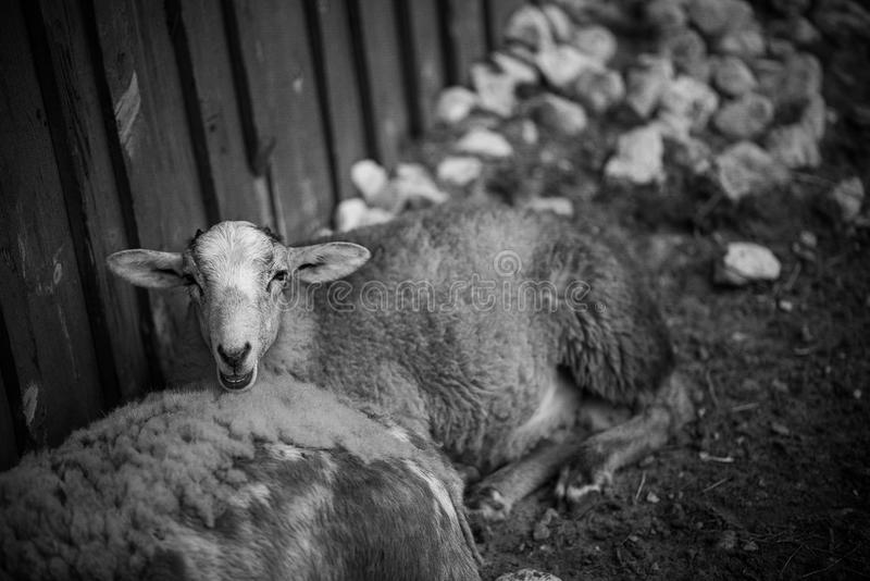 Vieh, Schafe auf dem Bauernhof lizenzfreies stockbild