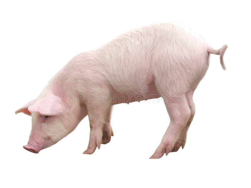 Vieh - Schwein, der auf einem weißen Hintergrund dargestellt wird - Bild stockbild