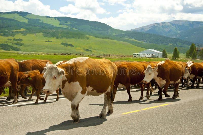 Vieh treibt hinunter Mitte der Straße an. lizenzfreie stockfotos