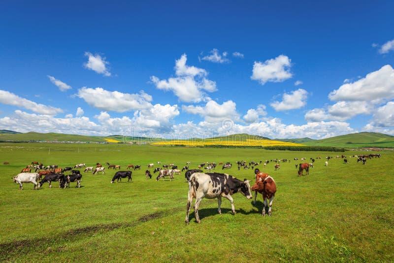 Viehbestand, der auf der Wiese weiden lässt stockfotografie