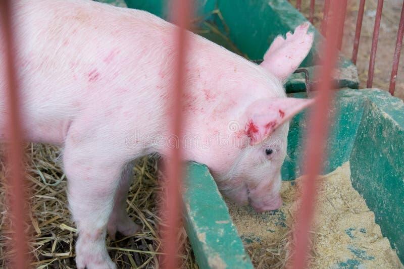 Viehbestand - Piggy Schweinestallbauernhof der Essenzufuhr herein stockbild