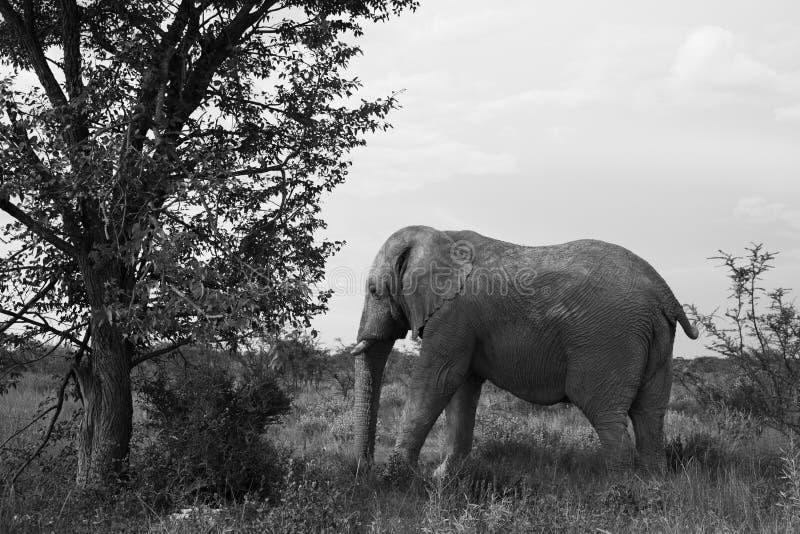 Vieil éléphant se reposant à la nuance d'un grand arbre dans l'Etosh image libre de droits