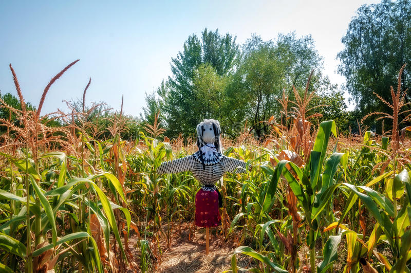 Vieil épouvantail dans un champ de maïs, fait paille de forme image libre de droits