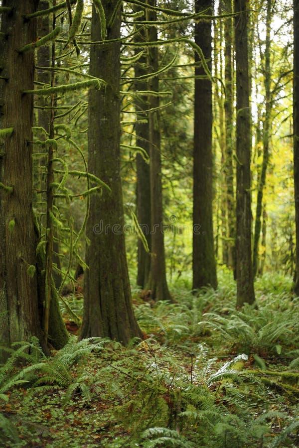 Vieil accroissement de forêt moussu photographie stock libre de droits