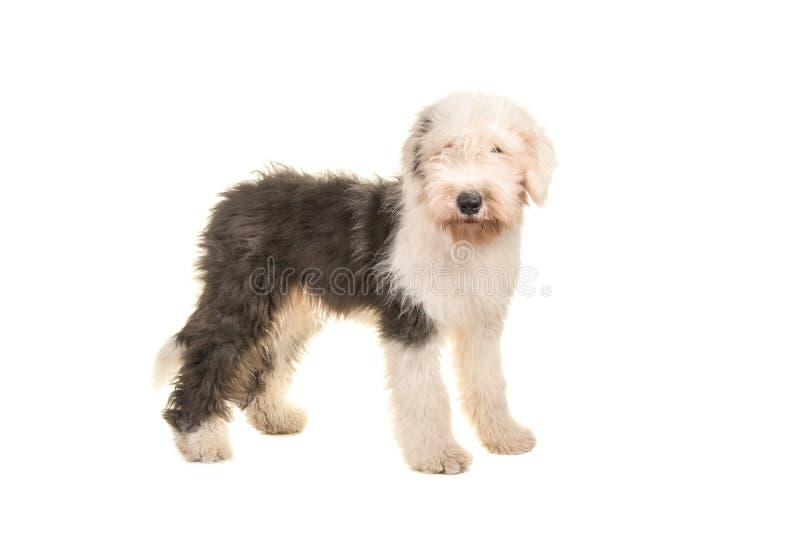 Vieil adulte anglais de chien de moutons jeune se tenant vu du côté photos stock