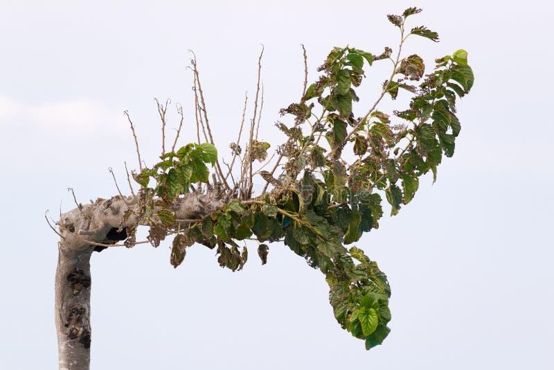 Vieil arbre à feuilles caduques dans la perspective de ciel photographie stock libre de droits