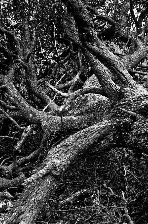 Vieil arbre avec le labyrinthe énorme des branches tombées à la terre à la forêt de montagne images libres de droits
