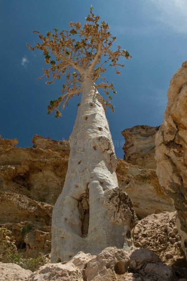 Vieil arbre de bouteille photographie stock libre de droits