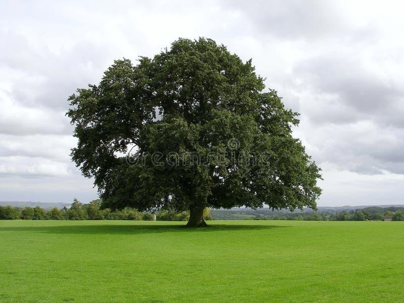 Vieil arbre de chêne image libre de droits