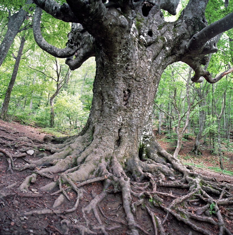 Vieil arbre de hêtre photographie stock libre de droits
