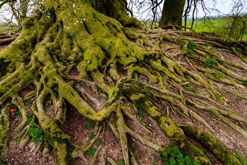 Vieil arbre de hêtre photo stock