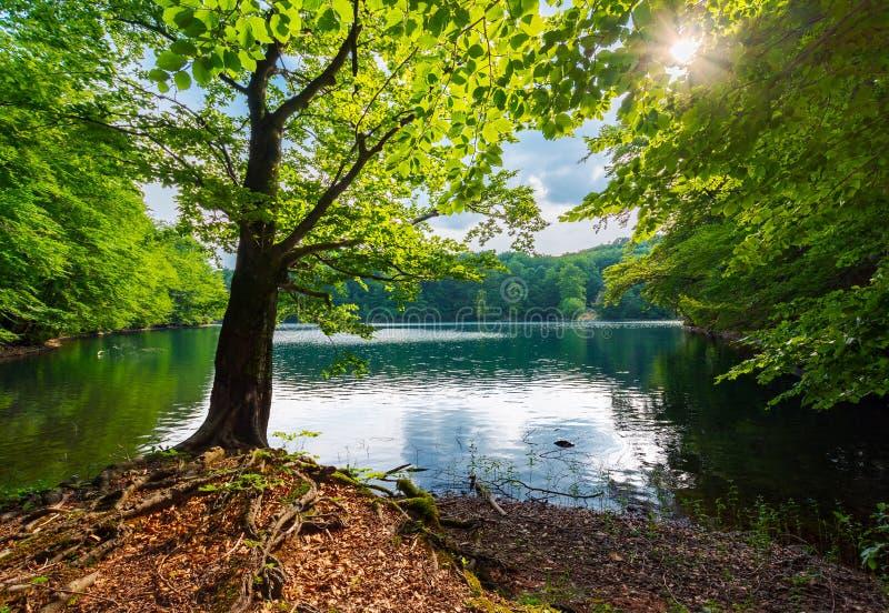 Vieil arbre de hêtre sur le rivage du lac Morske Oko photographie stock