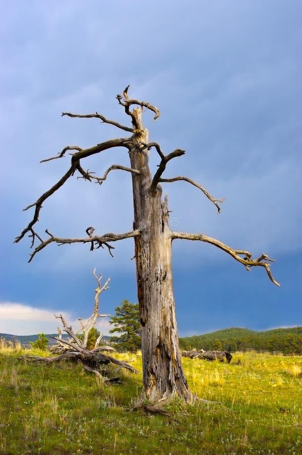 Vieil arbre de pin mort de Pondersoa images libres de droits