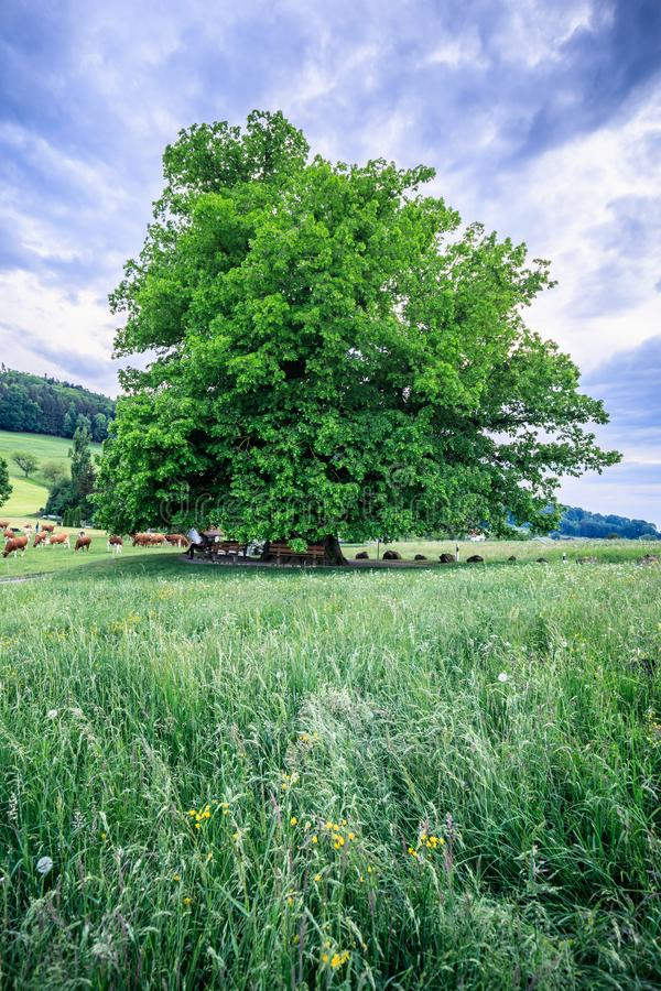 Vieil arbre de tilleul étonnant sous le ciel spectaculaire dans le hdr d'Argovie de linn photo stock
