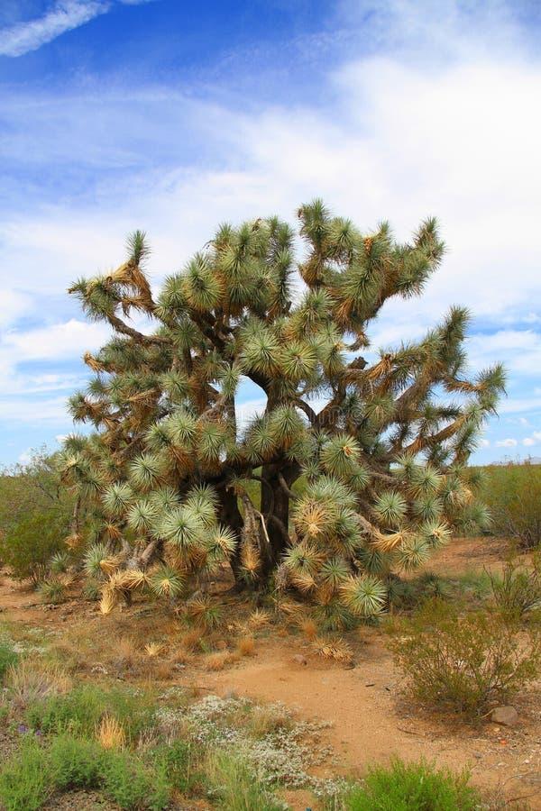 Vieil arbre de yucca image stock