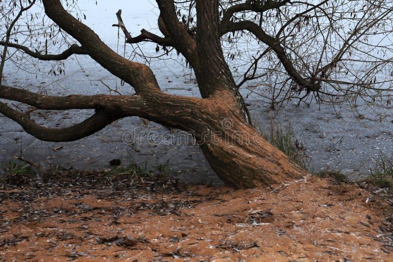 Vieil arbre en hiver photos stock