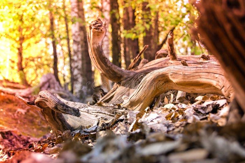 vieil arbre mort-vivant brun dans le bois photographie stock libre de droits