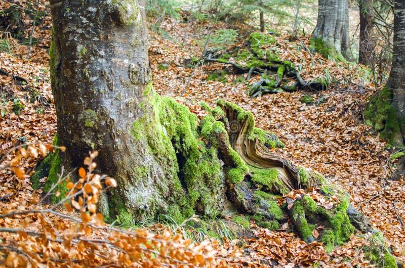Vieil arbre moussu dans les bois photos libres de droits